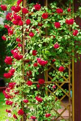 Red blooming ornamental flowers of climbing rose shrub covering the garden gazebo.