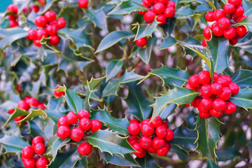 Holly bush background on the streets of Andorra la Vella