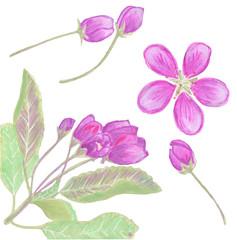 Apple blossom watercolor illustration.