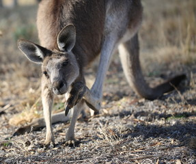 Close up of grey eastern kangaroo scratching