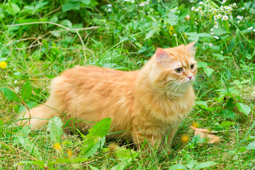 Ginger cat among the tall grass and flowers