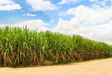 Fototapete - Sugarcane field in Thailand