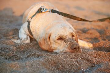 Sad labrador lay on beach