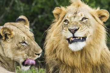A lion and lioness both finish yawning