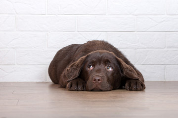 scared labrador puppy lying down on the floor