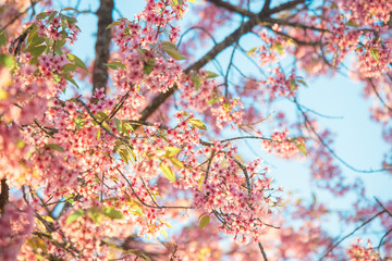 Branch of sakura flower, Cherry blossom.