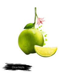 Citrus limetta fruit isolated on white. Digital art illustration. Citrus limon, C. limon Limetta species of citrus, commonly known as sweet lime, lemon, and limetta. Limu Shirin, mousambi, mosambi