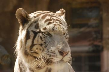 Белый тигр крупным планом