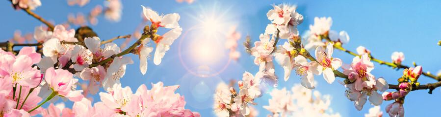 Wall Mural - Glückwunsch, alles Liebe: Mandelblüten vor blauem Frühlingshimmel :)