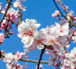 Glückwunsch, alles Liebe: Mandelblüten vor blauem Frühlingshimmel :)