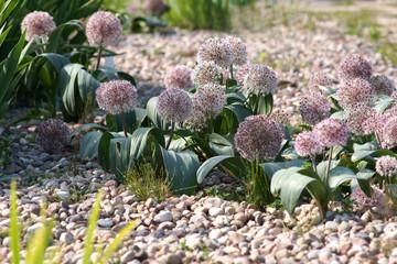 Obraz Allium karataviense - fototapety do salonu