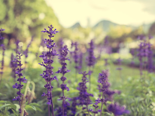 A fresh purple flower in a field on blurred background. (vintage style)