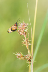 Acraea butterfly on grass stem