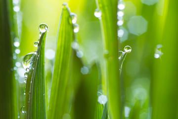 Obraz fresh young oats with dew - fototapety do salonu