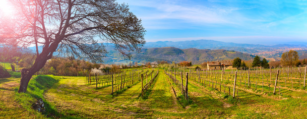 Vineyard in spring with a view of the city of Arezzo