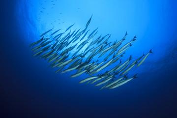 Underwater fish school barracuda
