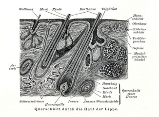Cross-section of skin (from Meyers Lexikon, 1895, 7/508/509)