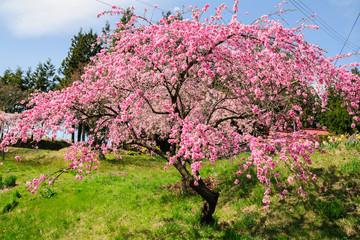 避難区域の桜