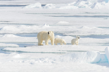 Polar bear mother (Ursus maritimus) and twin cubs on the pack ic