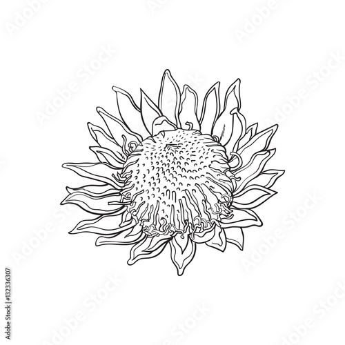 quotsingle king protea sketch style vector illustration