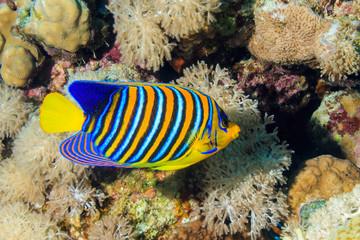 Royal angel fish
