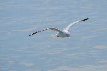 White seagull flying.