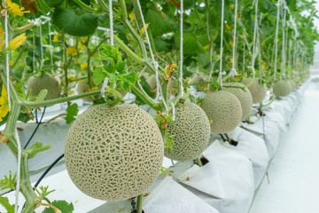 Modern and Clean Japan Musk Melon Plant.Selective focus on left units.
