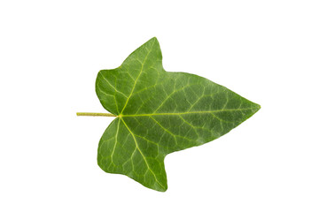Ivi leaf isolated on a white background. Herbarium series.