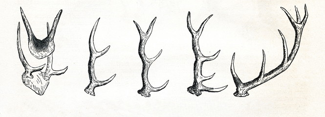 Growing of red deer (Cervus elaphus) antlers (from Meyers Lexikon, 1895, 7/513)