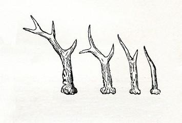 Growing of roe deer (Capreolus capreolus) antlers (from Meyers Lexikon, 1895, 7/514)