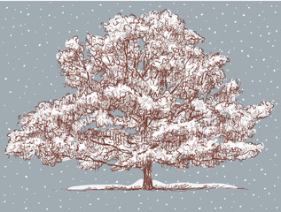 old oak in the winter
