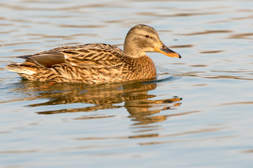 Close-up of a Wild Duck Bird, Mallard Duck (Anas platyrhynchos)