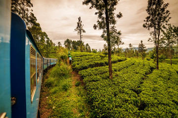 Sri Lanka: highland tea fields next to Nuwara Eliya, tea collectors and train