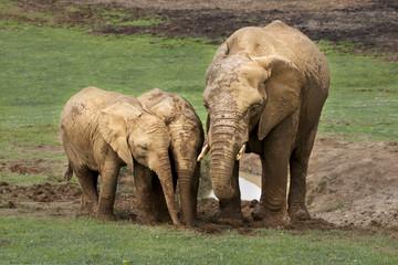 MAMMAL, ELEPHANT, ANIMALS, FAMILY, BABIES, MOTHER, CARE, LOVE, AFRICA, WILD, WILDLIFE,