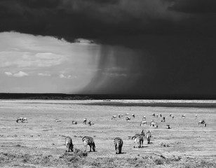 Zebras in Lake Manyara National Park - Tanzania (black and white)
