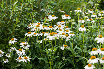 Echinacea purpurea (White Swan) - beautiful flowers with details