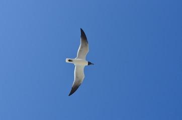Gaviota volando vista contra cenital