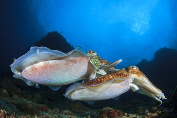 Cuttlefish - pair Pharaoh Cuttlefish mating