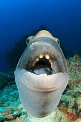 Titan Triggerfish fish portrait
