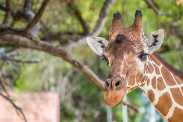 Giraffe Looking at Camera with Tree in Background