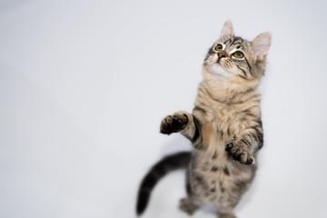 Portrait of Tabby Kitten Playing Standing Posing