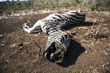 Burchells Zebra carcass from a severe drought