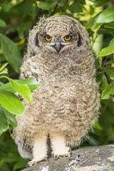 Spotted Eagle Owl chick