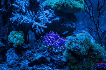 Reef tank, marine aquarium. Gorgonaria Euplexaura, Sea Fan. Clavularia. Zoanthus. Blue aquarium full of plants. Tank filled with water for keeping live underwater animals. Night view.