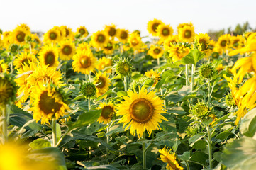 Sunflowers in the fields during sunset in Thailand