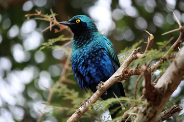 Burchell`s starling on the tree branch. Wild nature.  Kruger National Park.  Safari.  Autumn in South Africa.