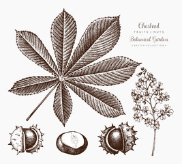 Chestnut botanical illustration. Vector hand drawn leaf and nuts sketch set. Autumn tree drawing.