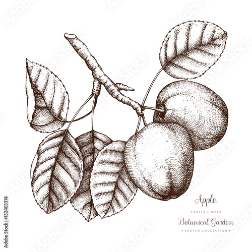 Apple botanical illustration vintage tree sketch with hand drawn apple botanical illustration vintage tree sketch with hand drawn leaves fruit and flower altavistaventures Gallery