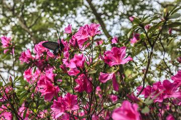 one butterfly fly on Azaleas