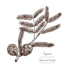 Vintage Cypress illustration. Hand drawn tree sketch on white background. Vector conifer plant.